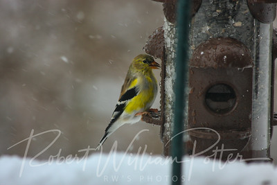 6609-Male Goldfinch