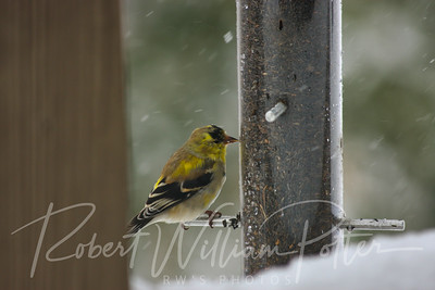 6580-Male Goldfinch