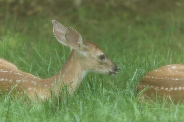 Backyard Deer 2