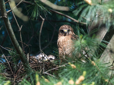 Hawks backyard chicks 25 May 2018-5974