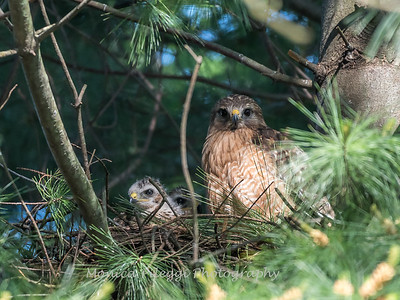 Hawks backyard chicks 25 May 2018-5980