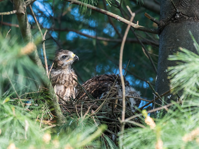 Hawk chicks backyard 26 May 2018-6359