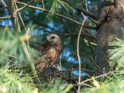 Hawk chicks backyard 26 May 2018-6311