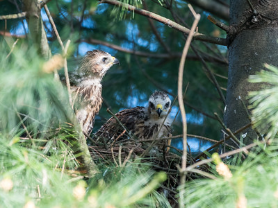 Hawk chicks backyard 26 May 2018-6336