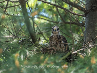 Hawks backyard chicks 25 May 2018-6228