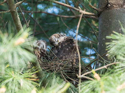 Hawk chicks backyard 26 May 2018-6436