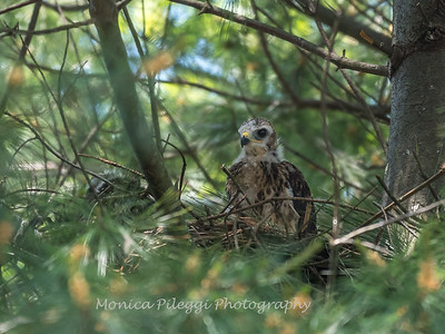 Hawks backyard chicks 25 May 2018-6229