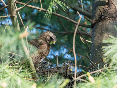 Hawk chicks backyard 26 May 2018-6319