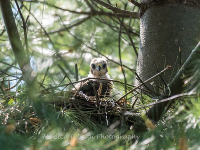 Hawk chicks backyard 25 May 2018-6274