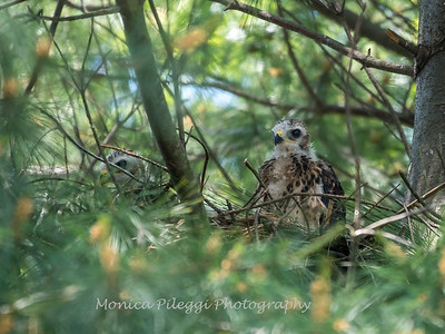 Hawks backyard chicks 25 May 2018-6232