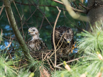 Hawk chicks backyard 26 May 2018-6416