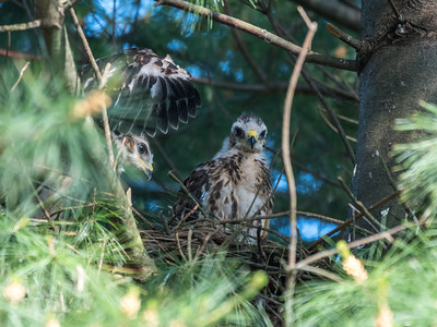 Hawk chicks backyard 26 May 2018-6329