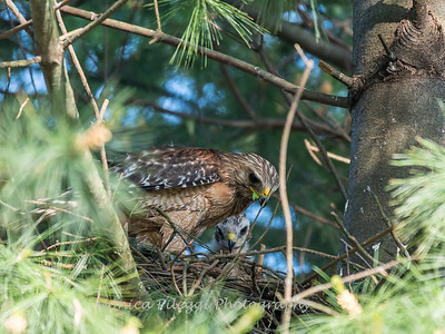 Hawk chicks backyard 26 May 2018-6298