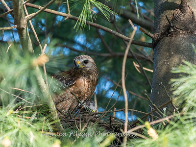 Hawk chicks backyard 26 May 2018-6307