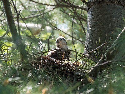 Hawk chicks backyard 25 May 2018-6276