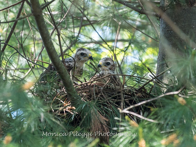 Hawks backyard chicks 25 May 2018-6244