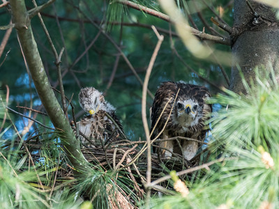 Hawk chicks backyard 26 May 2018-6408