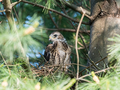 Hawk chicks backyard 26 May 2018-6382