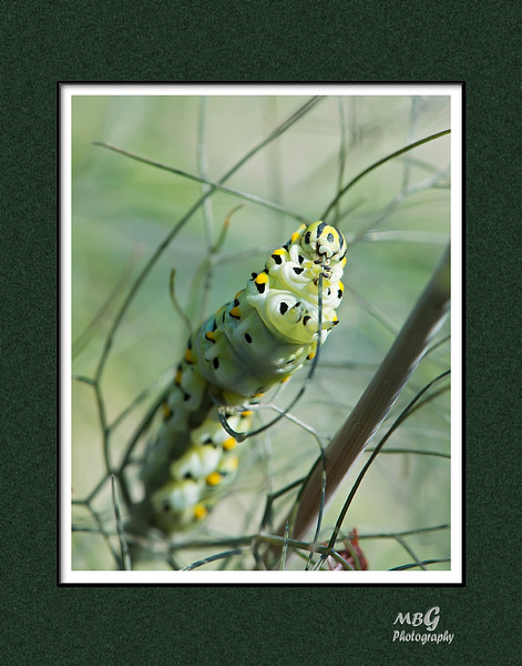 Monach Caterpillars
