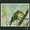 Monach Caterpillars