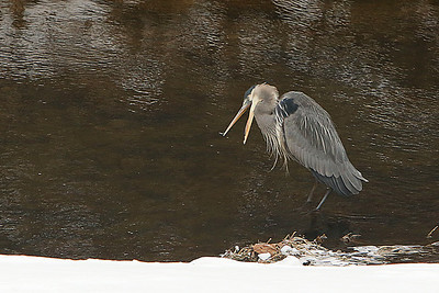 One of our Great Blue Herons taking a very cold walk in the icy stream water looking for a tasty snack. Looks like she is yelling at the fish to come out.