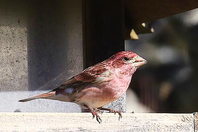 Purple Finch on the Feeder