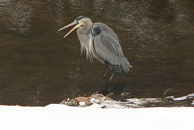 One of our Great Blue Herons taking a very cold walk in the icy stream water looking for a tasty snack.