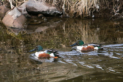 Two Northern Shoveler drakes were in town. Apparently they migrate through the eastern US, but breed in the western US and Canada, and spend quality time in Central America.