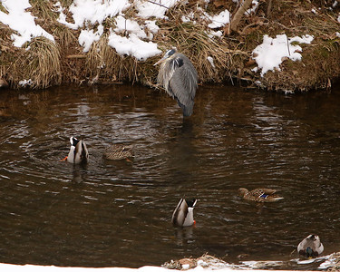 When you are icy cold and quietly hunting for dinner, a bunch of mallards come by to swim and feed and generally scare off anything in sight.
