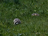 A couple of badgers (Meles meles), unusually out of the sett, in the middle of a very warm Spring day in Oxfordshire.