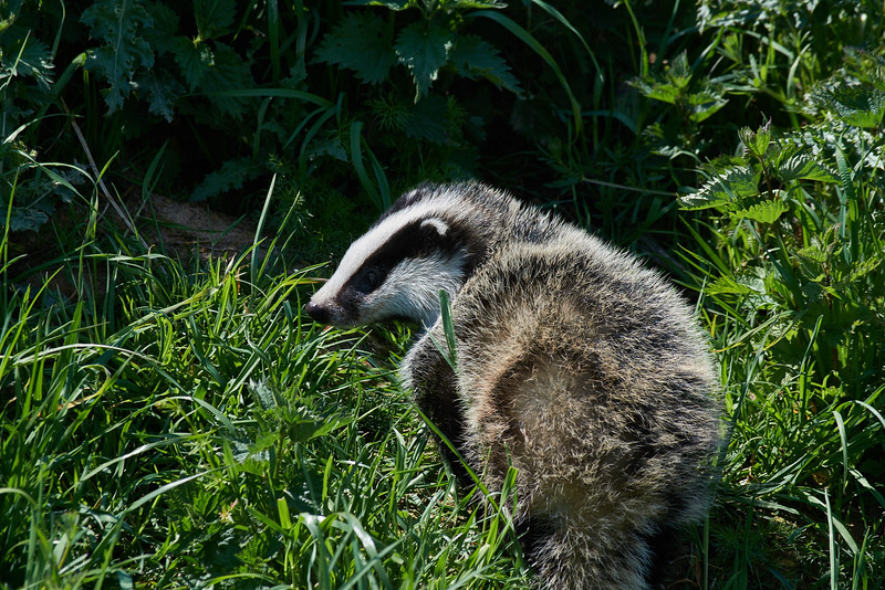 Badger (Meles meles), unusually out of the sett, in the middle of a very warm Spring day in Oxfordshire.