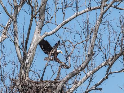 Eagle Nest 31 Mar 2018-4525