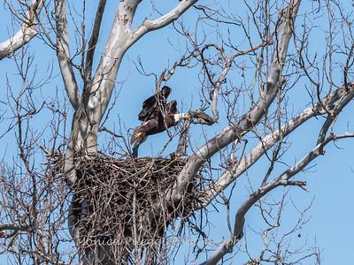 Eagle Nest 31 Mar 2018-4498