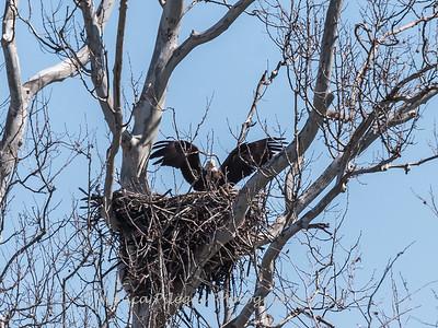 Eagle Nest 31 Mar 2018-4016