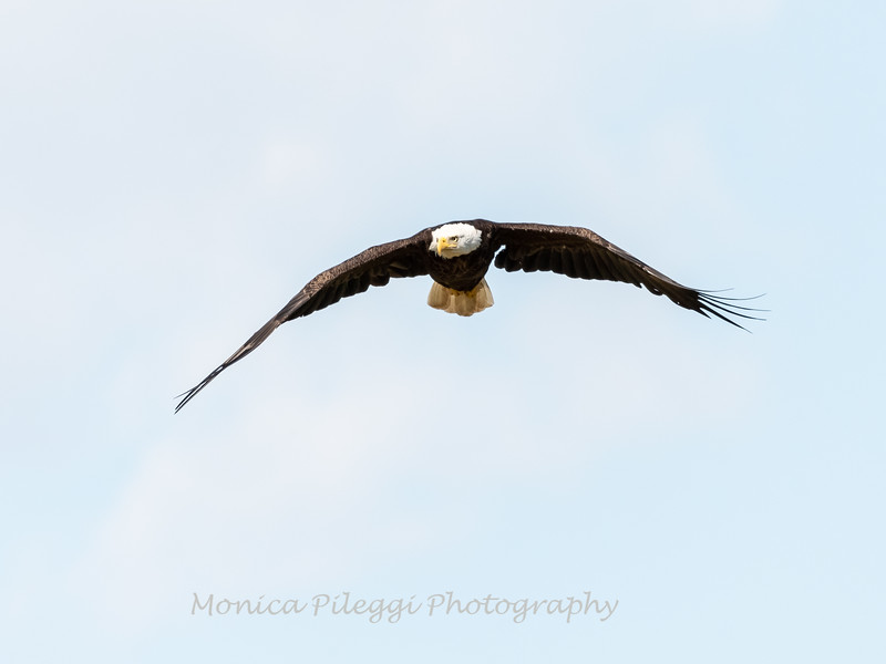 Bald Eagle 15 May 2019-9077