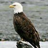 This bald eagle was photographed on the Kenai at anchor point.