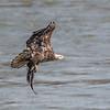 Eagles Conowingo Dam 14 Apr 2018-7501
