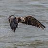 Eagles Conowingo Dam 14 Apr 2018-7495