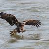 Eagles Conowingo Dam 14 Apr 2018-7490