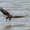 Eagles Conowingo Dam 14 Apr 2018-7489