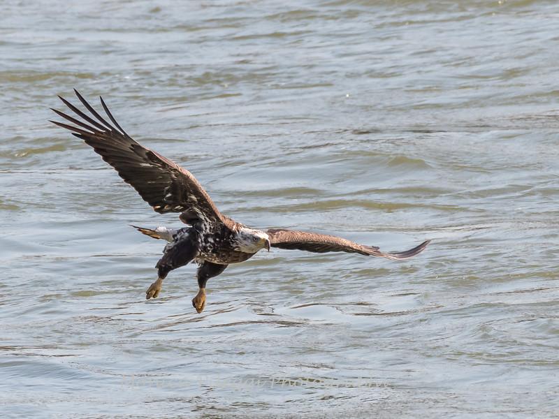 Eagles Conowingo Dam 14 Apr 2018-7488