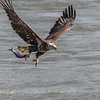 Eagles Conowingo Dam 14 Apr 2018-7496