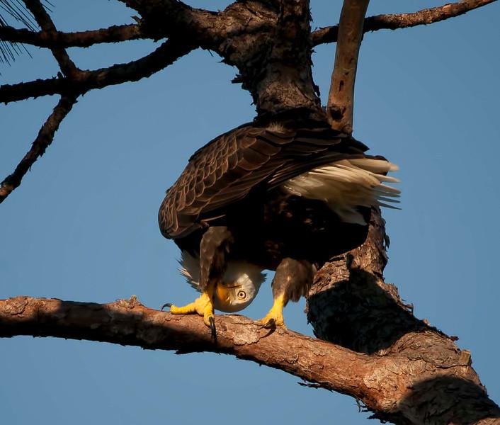 eaglebutt