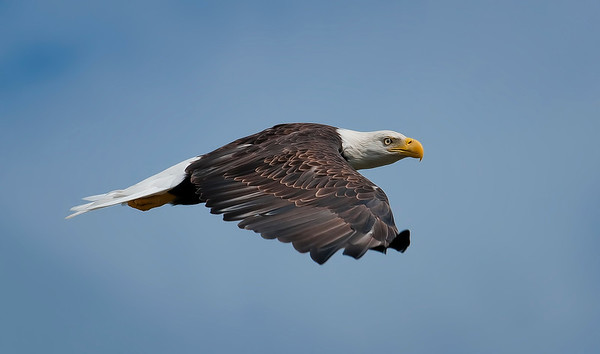 Bald Eagles by Brian