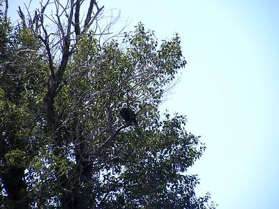Bald Eagles - Snake River near Jackson,WY
