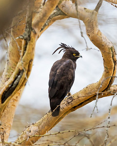 Long-crested Eagle (Black Plumage)
