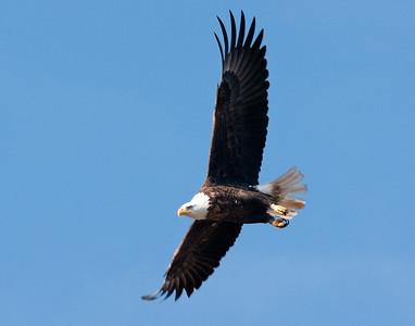 Bald Eagle 48