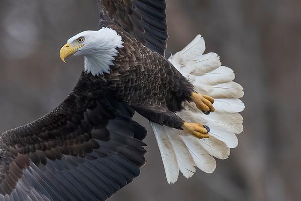 Bald_Eagle (8)