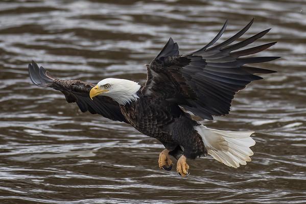 Bald_Eagle (3)