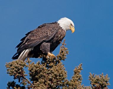 Bald Eagle 49